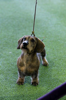 Dachshunds - Wirehaired